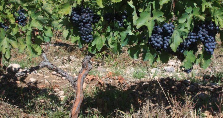 Blåa vindruvor Armenien